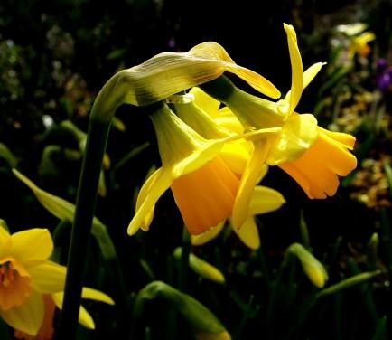 Dwarf Daffodil