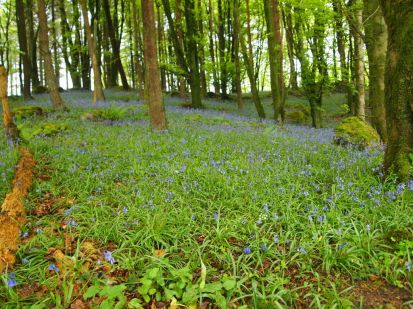 Union wood, blubells
