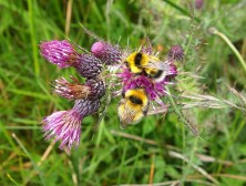 Heath Bumblebee (Bombus jonellus)