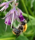 Carder bumblebee