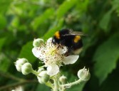 White tailed bumble