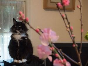桃の花と猫のマーリン