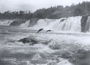 Wild Pacific Salmon jumping at Willamette falls (Photo credit: Wikipedia)