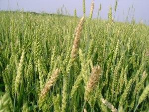 33 dwarf wheat crop