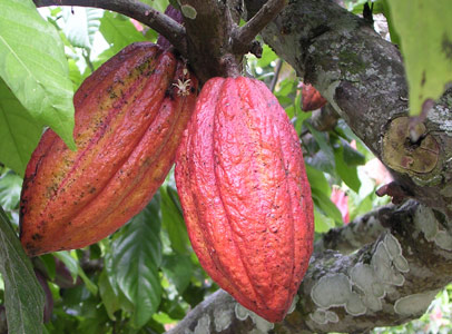 cacao-tree