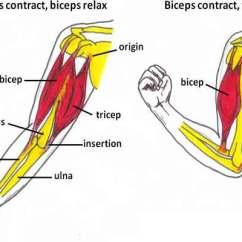 Triceps Brachii Diagram True Tuc 27f Wiring Muscle Function Pathology Strain Injuries