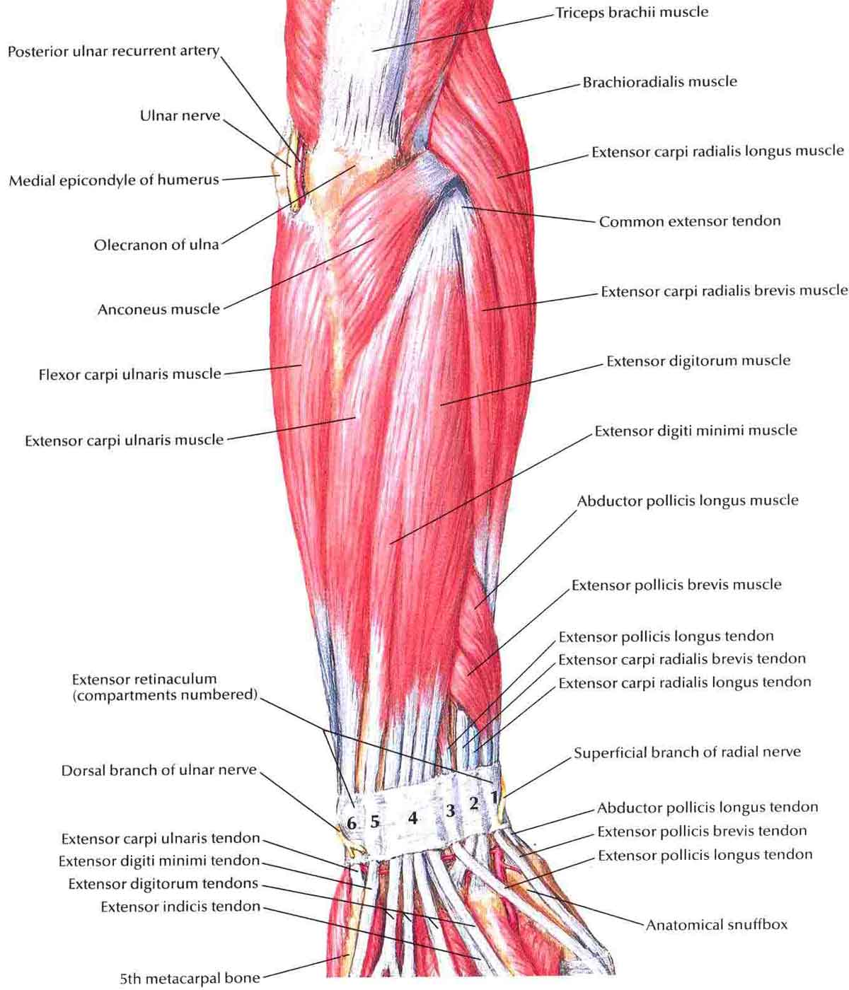 Forearm Muscles Structure Injuries Veins Amp Exercise