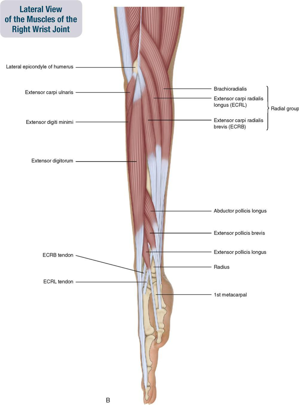 medium resolution of figure 7 3 a medial view of the muscles of the right wrist joint b lateral view of the muscles of the right wrist joint