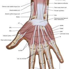 Palmar Hand Muscle Anatomy Diagram Mitosis Labeled Ligaments Best Wiring Library 7 Muscles Of The Forearm And Musculoskeletal Key Dorsal Diagrams