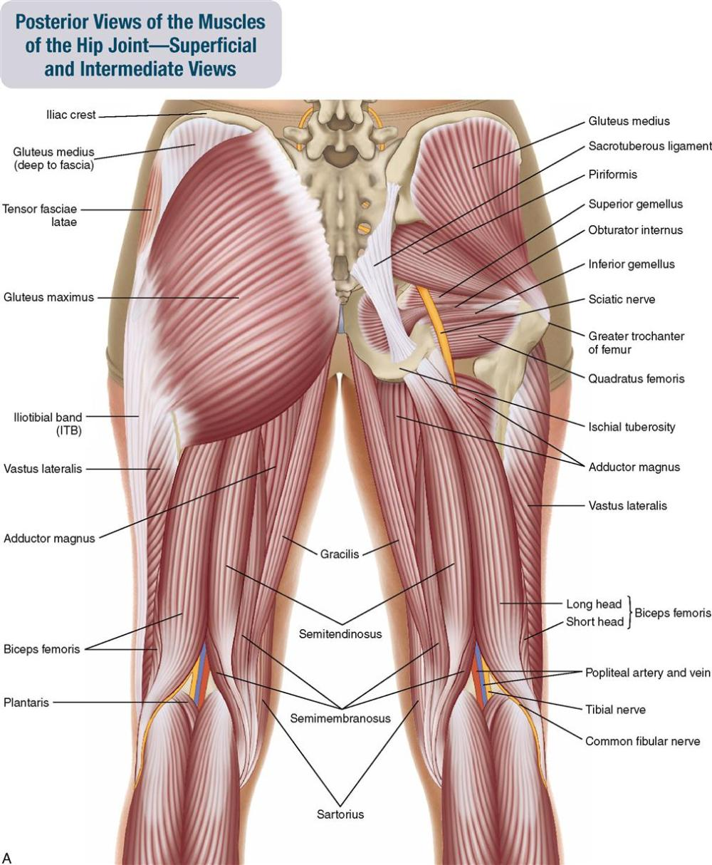 medium resolution of figure 10 2 posterior views of the muscles of the hip joint a superficial view on the left and an intermediate view on the right