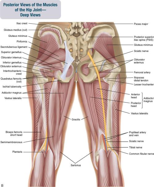 small resolution of figure 10 2 posterior views of the muscles of the hip joint a superficial view on the left and an intermediate view on the right