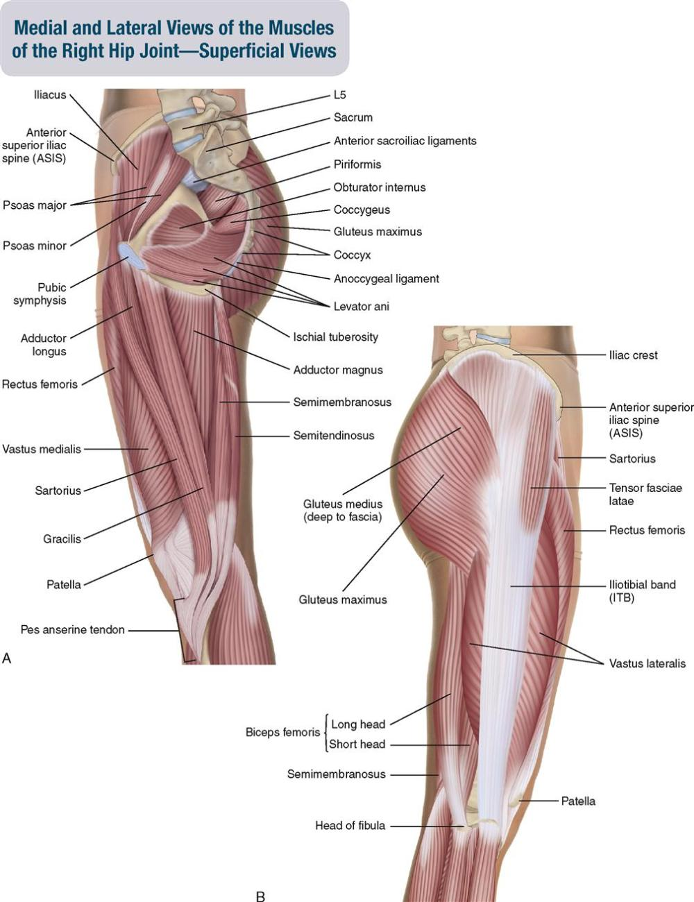 medium resolution of figure 10 3 a medial view of the muscles of the right hip joint superficial b lateral view of the muscles of the right hip joint superficial