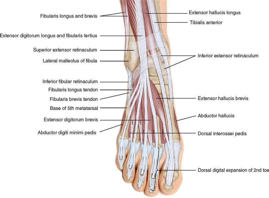 Muscular Anatomy Posterior Knee