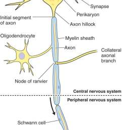 figure 3 1 schematic drawing of a neuron reproduced with permission from chapter 9 nerve tissue the nervous system in mescher al eds  [ 780 x 1800 Pixel ]