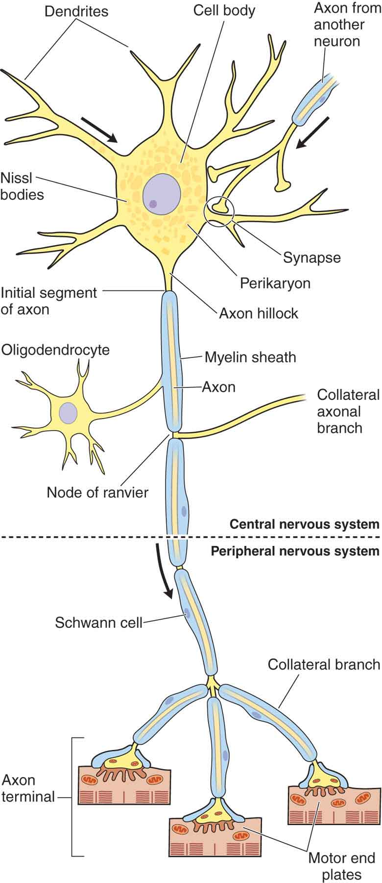 hight resolution of figure 3 1 schematic drawing of a neuron reproduced with permission from chapter 9 nerve tissue the nervous system in mescher al eds