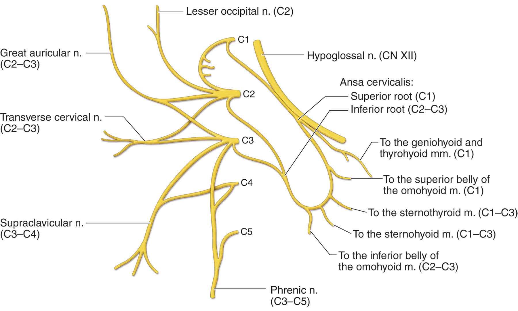 cat neck muscles diagram nissan frontier wiring 2000 of nerves in back spleen