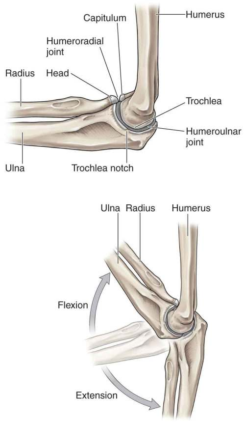 small resolution of figure 17 1 the bony structures of the elbow complex reproduced with permission from chapter 31 arm in morton da foreman k albertine kh eds