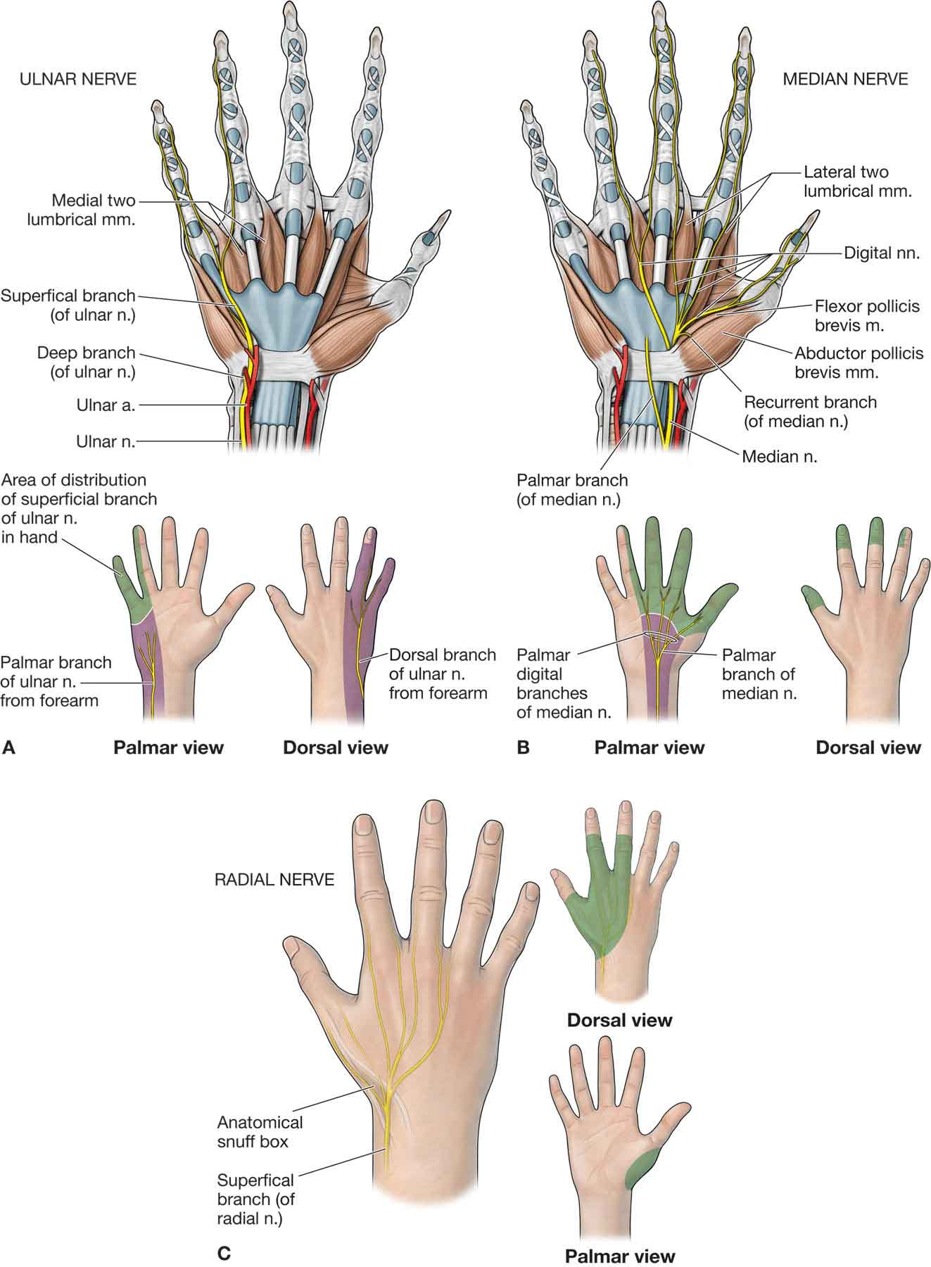 ulnar nerve diagram ford model t ignition switch wiring the forearm wrist and hand musculoskeletal key