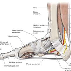 Medial Lower Leg Muscles Diagram The Animal Cell With Labels Aspect Of Toe Related Keywords