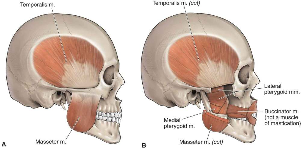 medium resolution of  of tmj reproduced with permission from chapter 21 infratemporal fossa in morton da foreman k albertine kh eds the big picture gross anatomy