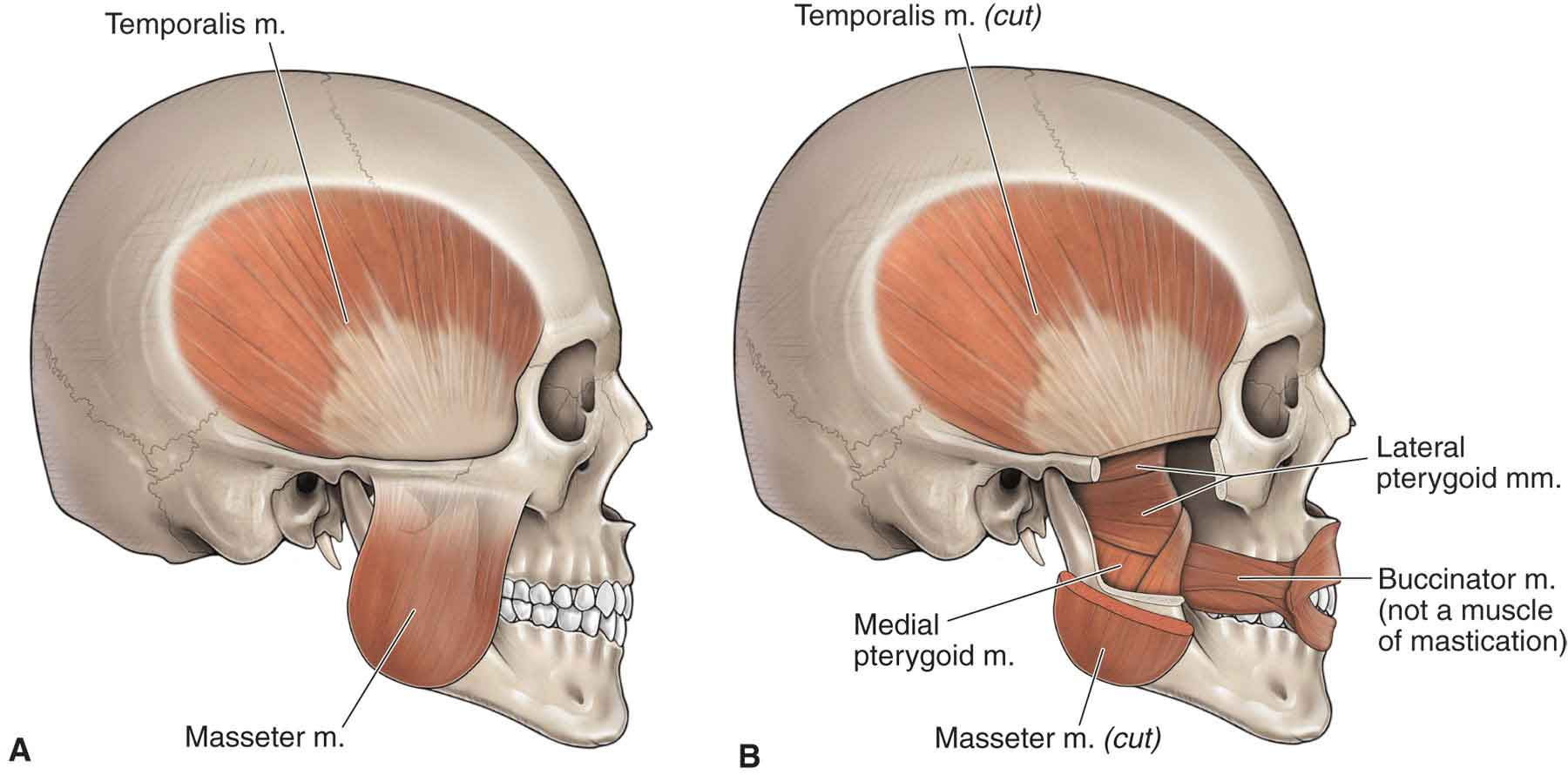 hight resolution of  of tmj reproduced with permission from chapter 21 infratemporal fossa in morton da foreman k albertine kh eds the big picture gross anatomy