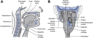 Anatomy and Physiology of Feeding and Swallowing: Normal and Abnormal | Musculoskeletal Key