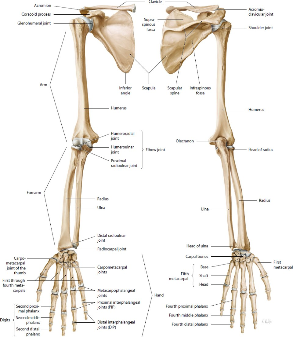 Shoulder Elbow And Upper Extremity Sports Musculoskeletal Key