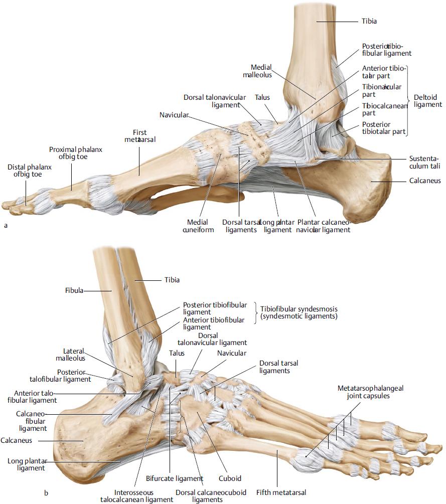 Heel Anatomy Dorsal Topsimages