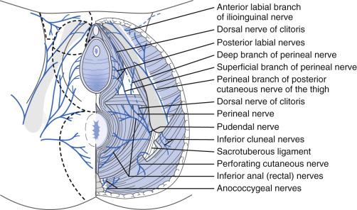 Pelvic Floor Disorders | Musculoskeletal Key