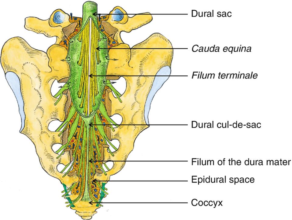 Of The Spinal Meninges Musculoskeletal Key 20 cm langer, schmaler bindegewebsstrang, der sich vom conus medullaris des rückenmarks nach kaudal erstreckt. of the spinal meninges