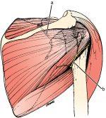 Developmental anatomy of the shoulder