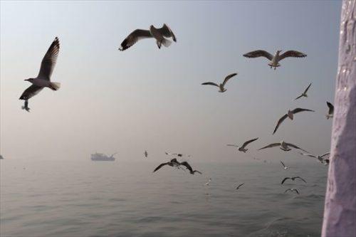乗客が投げる餌を目当てにカモメが併走します