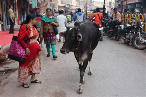 牛は自由に町中を歩いています