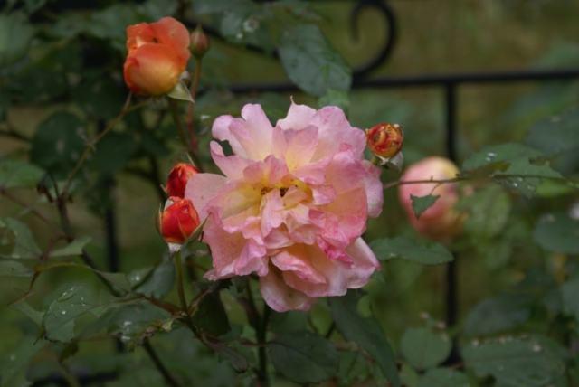 Розы-