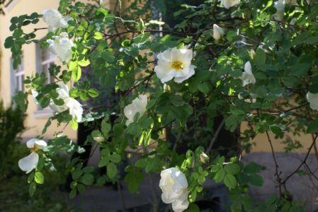 Белая роза садовая-