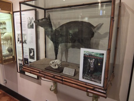 ichang-deer-with-endangered-list-label