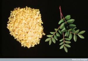 Mastic chewing gum from the Pistacia lentiscus tree, a plant native to the Mediterranean, was chewed by the Romans to freshen their breath and preserve their teeth (we now know that this is due to its antibacterial properties). Credit: Efraim Lev and Zohar Amar. Wellcome Images