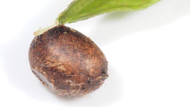 味見 イラガ科 Thosea sp. の前蛹はさわれておいしい揚げパンのような姿。