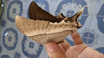 味見 オオツバメガ Lyssa zampa 成虫 は歯ごたえがよい。