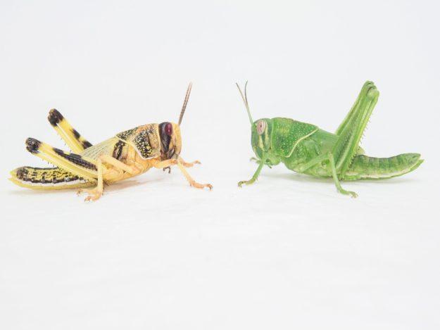 昆虫食はバッタの大発生を解決しない。