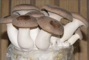 Mature King Oyster Mushrooms on Mushroom Log