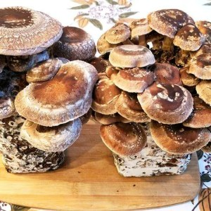 Two Shiitake Mushroom Logs grown by a Mother Earth News Magazine staffer: a first time mushroom grower.