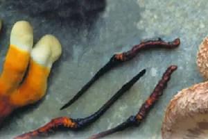 Reishi - Cordyceps - Shiitake