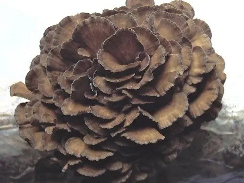 Maitake Mushroom (Grifola frondosa) Hen of the Woods