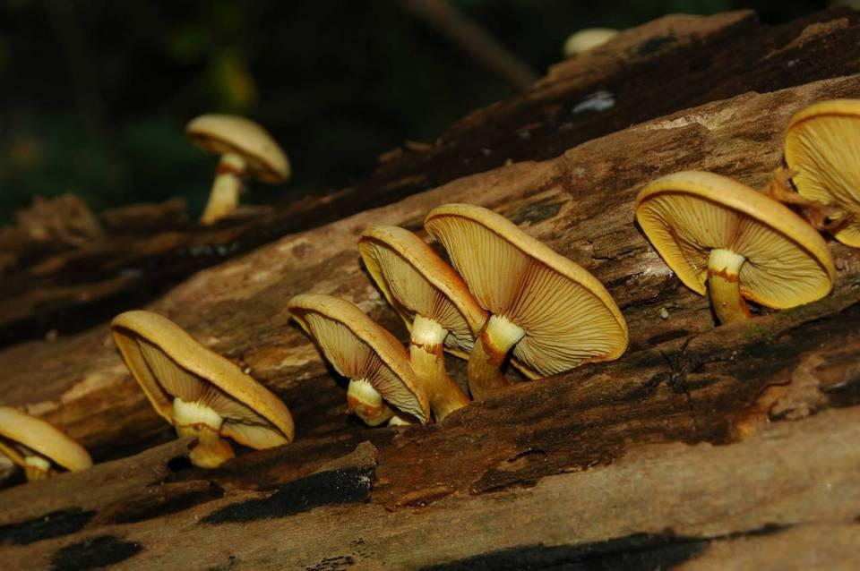 Shroomery  Gymnopilus luteus