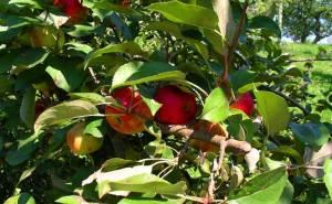 Song Of September Apples