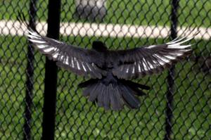 White-Winged Crow, Daley Bicentennial Plaza Tennis Court