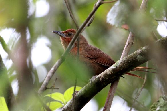 Orange-Eyed Thornbird