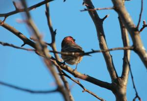 Male House Finch IMG_8569_1