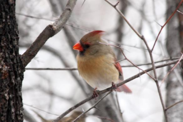 Cardinal IMG_1814_1